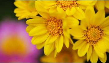 Букет из желтой хризантемы Сантини.