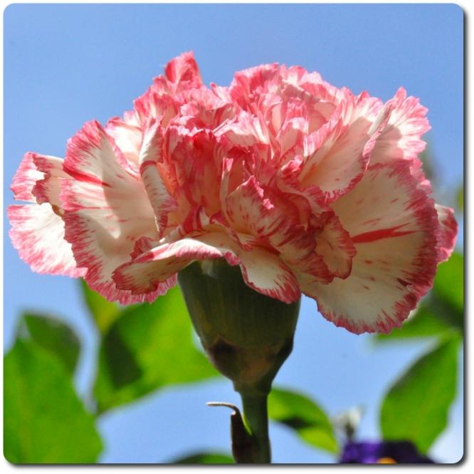 Поштучно бело-розовая гвоздика с доставкой №37