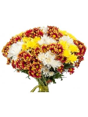 Букет цветов из разноцветной кустовой хризантемы (31 шт.) №6 с доставкой.