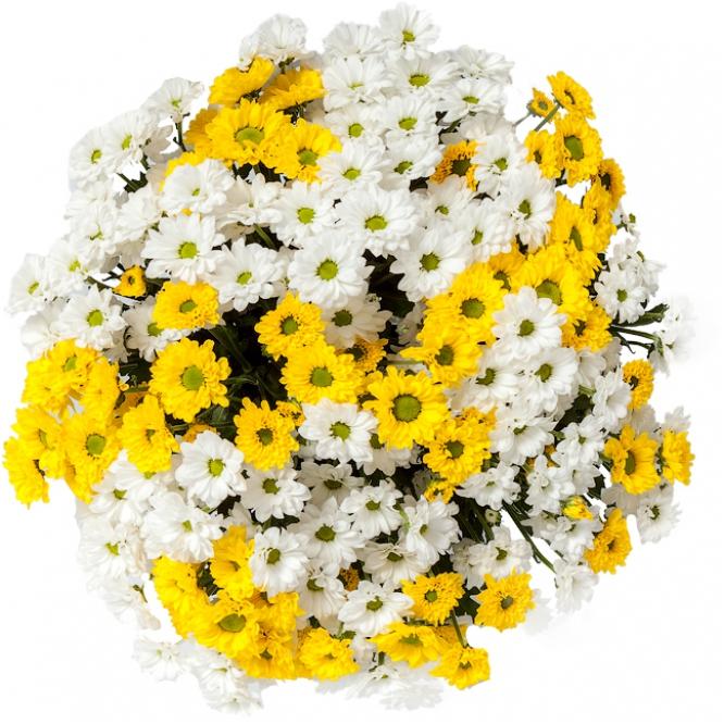 Букет цветов из белой и желтой хризантемы Сингл (31 ветка) с доставкой.