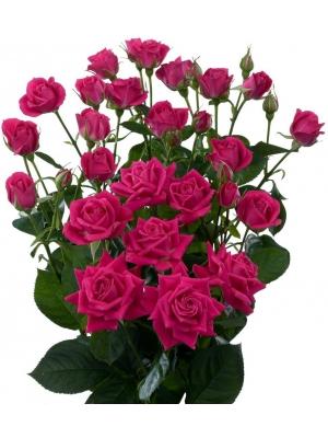 Поштучно фиолетовые кустовые розы Alicia (экстра класс, 70 сантиметров) с доставкой по Киеву.