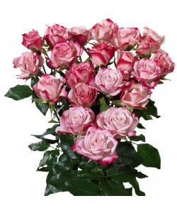 Поштучно красно-розовые кустовые розы Amy (экстра класс, 70 сантиметров) с доставкой по Киеву.