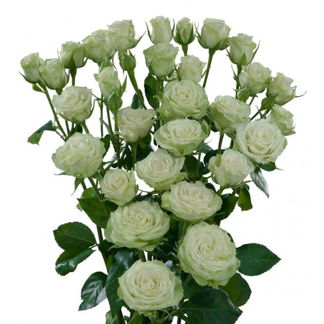 Поштучно кустовые розы Annakyra (экстра класс, 70 сантиметров) с доставкой по Киеву.