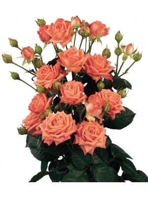 Поштучно кустовые розы Barbados (экстра класс, 70 сантиметров) с доставкой по Киеву.