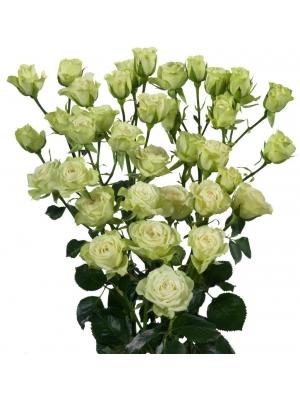 Поштучно кустовые розы Evergreen (экстра класс, 70 сантиметров) с доставкой по Киеву.