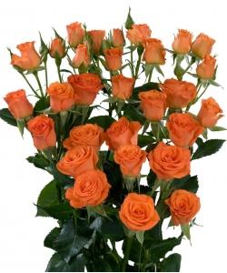 Поштучно кустовые розы Fancy (экстра класс, 70 сантиметров) с доставкой по Киеву.