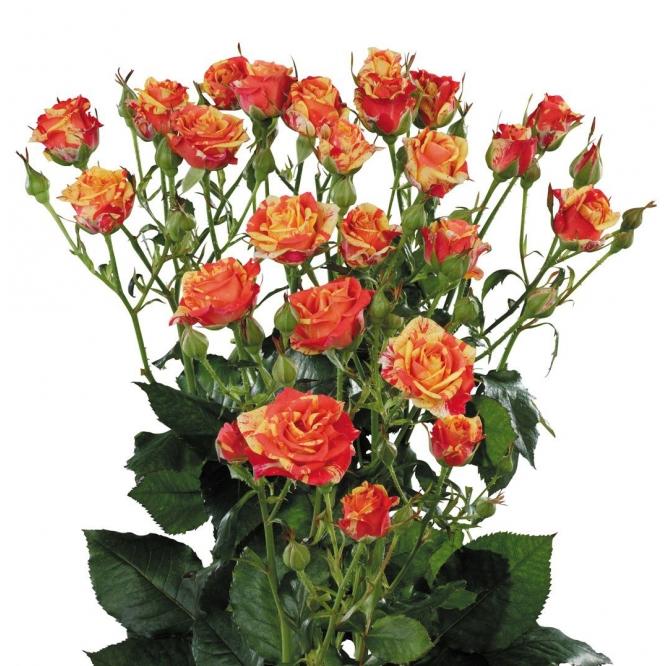Поштучно кустовые розы Fire Flash (экстра класс, 70 сантиметров) с доставкой по Киеву.