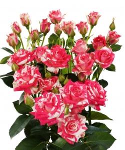 Поштучно кустовые розы Fireworks (экстра класс, 70 сантиметров) с доставкой по Киеву.