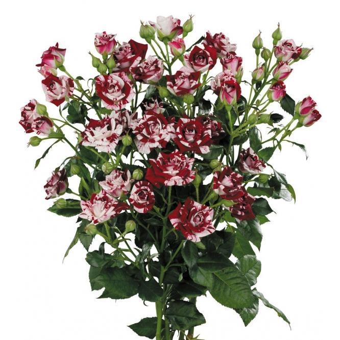 Поштучно кустовые розы Flash Night (экстра класс, 70 сантиметров) с доставкой по Киеву.