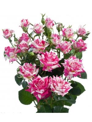 Поштучно кустовые розы Flashing (экстра класс, 70 сантиметров) с доставкой по Киеву.