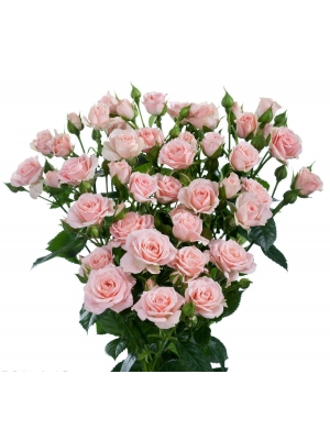 Поштучно кустовые розы Lydia (экстра класс, 70 сантиметров) с доставкой по Киеву.