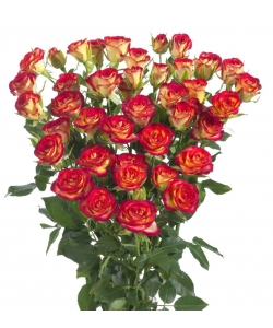 Поштучно кустовые розы Mic Mac (экстра класс, 70 сантиметров) с доставкой по Киеву.