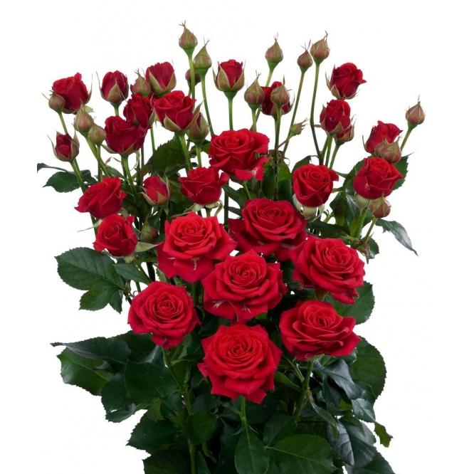 Поштучно кустовые розы Mirabel (экстра класс, 70 сантиметров) с доставкой по Киеву.