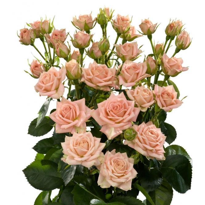 Поштучно кустовые розы Natasha (экстра класс, 70 сантиметров) с доставкой по Киеву.