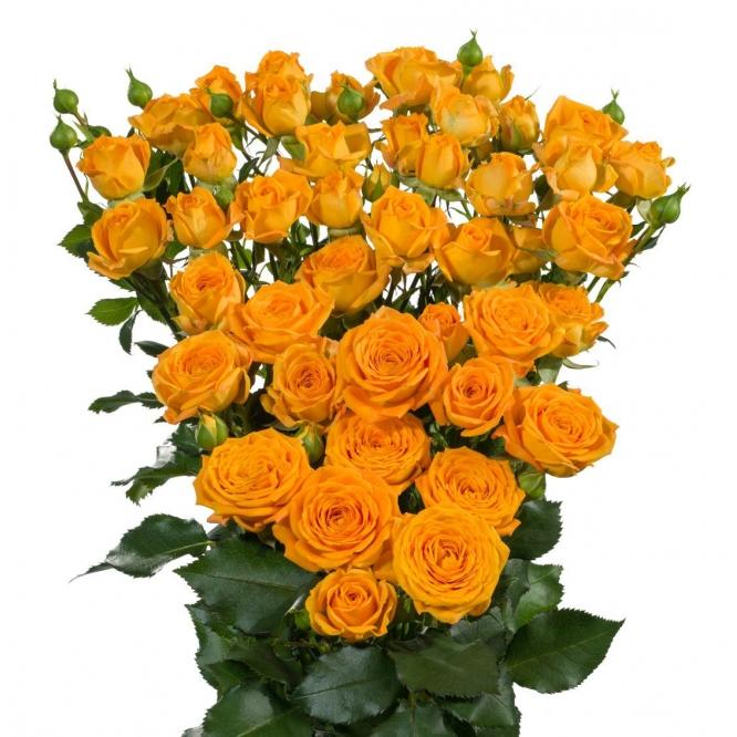 Поштучно кустовые розы Peggy Sue (экстра класс, 70 сантиметров) с доставкой по Киеву.