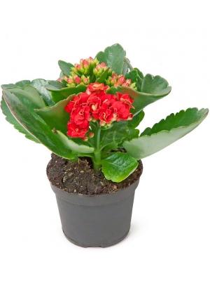 Вазон (горшок) цветов из красным каланхоэ (высота 25 сантиметров, диаметр 9 - 12 сантиметров) с доставкой по Киеву.