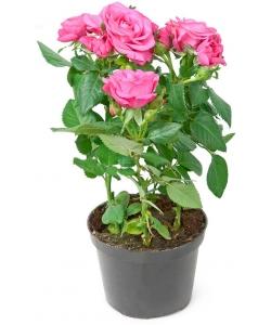 Вазон (горшок) цветов из розовыми комнатными розами (высота 30 сантиметров, диаметр 9 - 12 сантиметров) с доставкой.