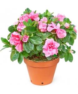 Вазон (горшок) цветов из розовой комнатной азалией (высота 25 сантиметров, диаметр 9 - 12 сантиметров) с доставкой.