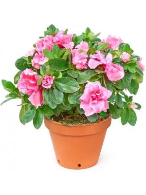 Цветы в вазонах купить киев купить на столы в кафе искусственные цветы