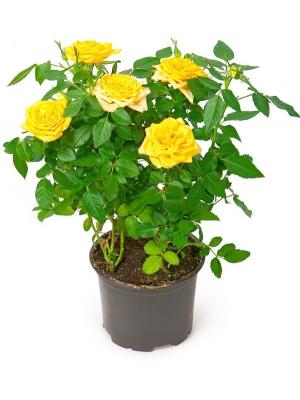 Вазон (горшок) цветов из желтыми комнатными розами (высота 30 сантиметров, диаметр 9 - 12 сантиметров) с доставкой.