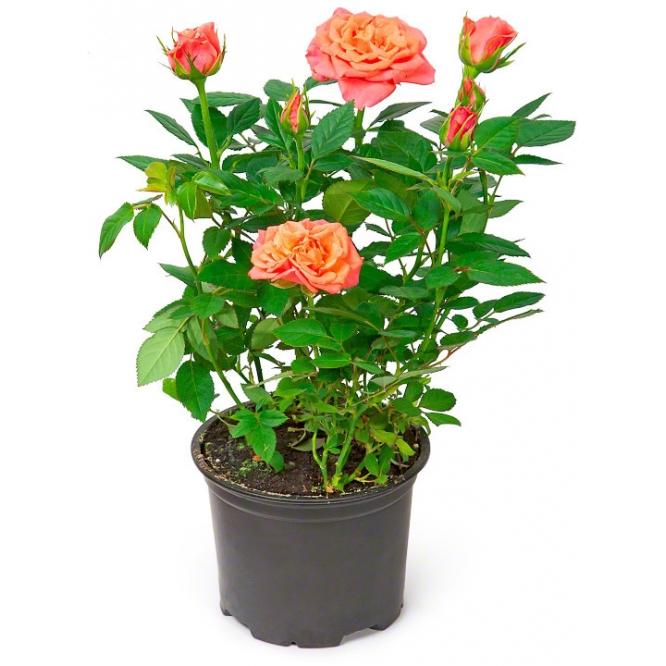 комнатные цветы в горшках с фото и названием