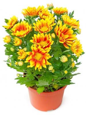 Вазон (горшок) цветов из оранжевой комнатной хризантемой (высота 30 сантиметров, диаметр 9 - 12 сантиметров) с доставкой.