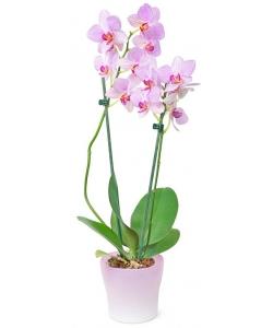 Вазон (горшок) цветов из розовой орхидеи Фаленопсис (высота 60 сантиметров, экстра качество, 2 ветки) с доставкой.