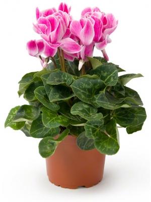 Вазон (горшок) цветов из розового цикламена (высота ~30 сантиметров, ширина ~9 - 12 сантиметров) с доставкой по Киеву.