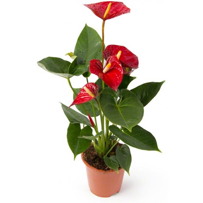 Вазон (горшок) цветов из красного антуриума (высота ~45 сантиметров, ширина ~9 - 12 сантиметров) с доставкой по Киеву.