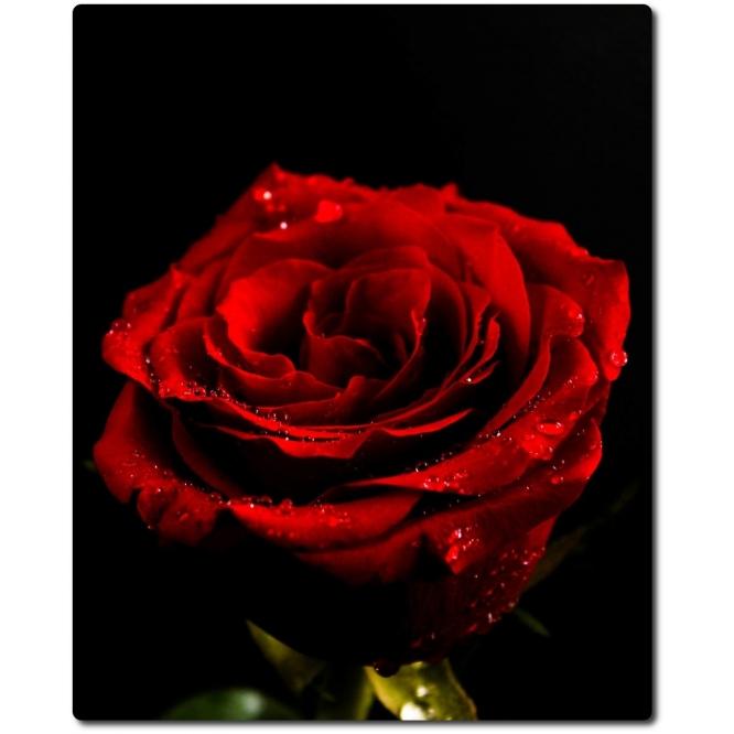 """Чарующая красная роза """"Престиж"""" (экстра класс, 60см) с доставкой по Киеву."""