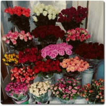 Свежайшие розы на любой вкус от 20 грн. с доставкой по Киеву. Звоните или пишите в Viber!
