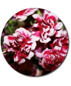 Поштучно ветка бело-розовой гвоздики с доставкой №41