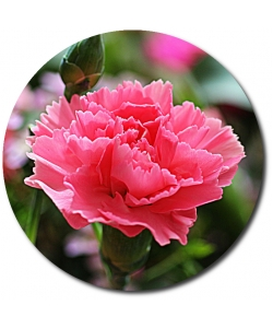 Поштучно розовая гвоздика с доставкой №42