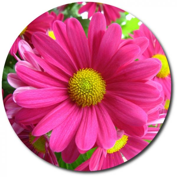 Поштучно ветка розовой хризантемы с доставкой №15