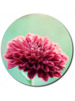 Поштучно шаровидная розовая хризантема (экстра класс, 75 сантиметров) с доставкой №22