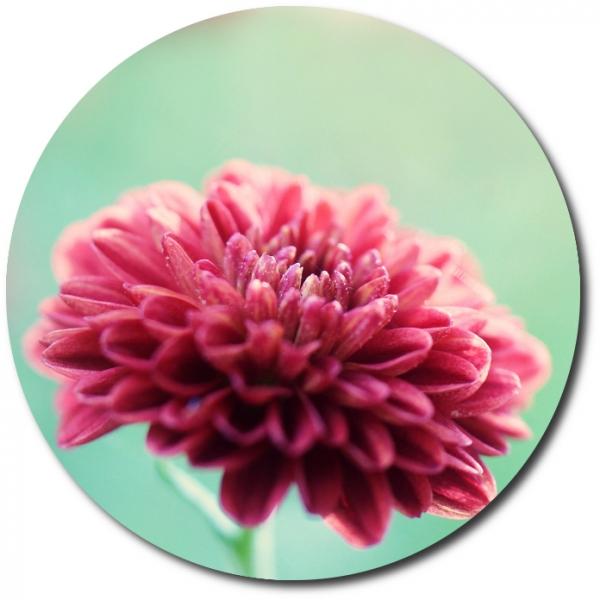 Поштучно одноглавая розовая хризантема с доставкой №22