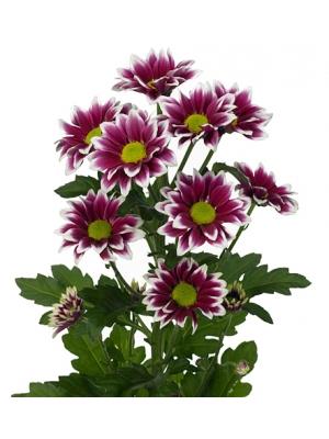 Поштучно ветка цветной хризантемы (экстра класс, 75 сантиметров) с доставкой №11
