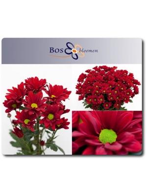 Поштучно ветка красной хризантемы (экстра класс, 75 сантиметров) с доставкой №12