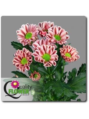 Поштучно ветка нежно-розовой хризантемы (экстра класс, 75 сантиметров) с доставкой №16