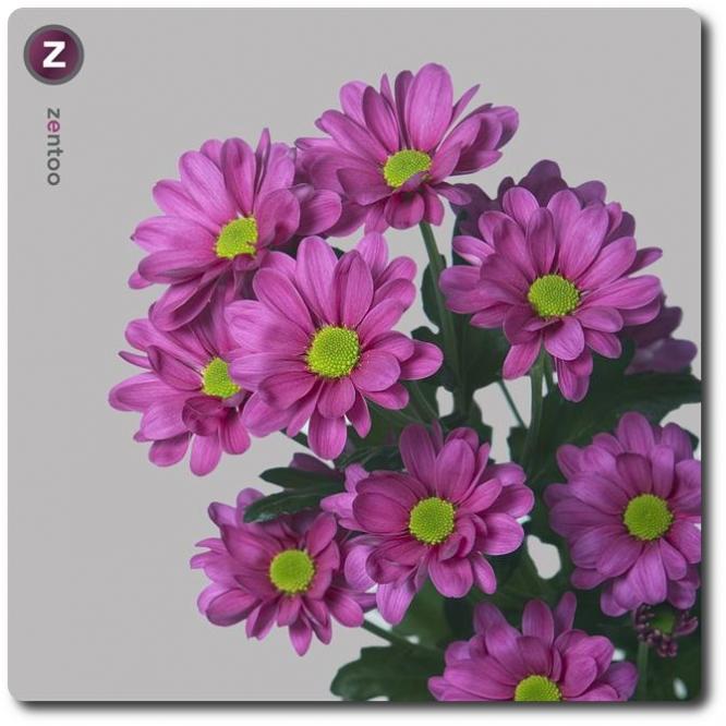 Поштучно ветка розовой хризантемы (экстра класс, 75 сантиметров) с доставкой №19