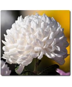 Поштучно шаровидная белая хризантема (экстра класс, 75 сантиметров) с доставкой №23