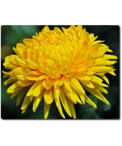 Поштучно шаровидная желтая хризантема (экстра класс, 75 сантиметров) с доставкой №24