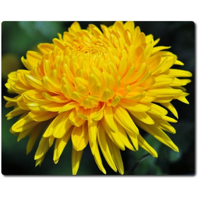 Поштучно одноголовая желтая хризантема (экстра класс, 75 сантиметров) с доставкой №24