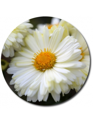 Поштучно одноглавая белая хризантема с доставкой №20