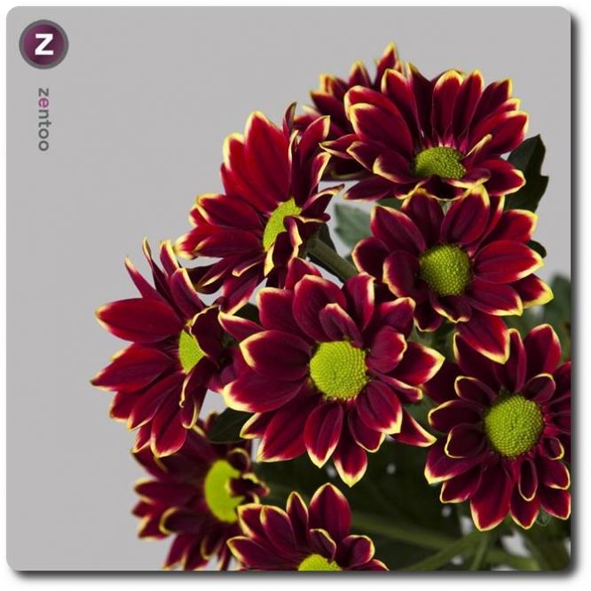 Поштучно ветка бордово-желтой хризантемы (экстра класс, 75 сантиметров) с доставкой №20