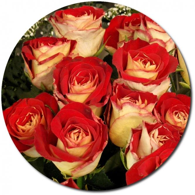 Поштучно бело-красные розы (экстра класс, 70 сантиметров) с доставкой.