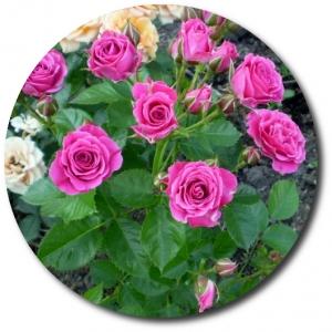 Поштучно ветка розовых роз №4 с доставкой.