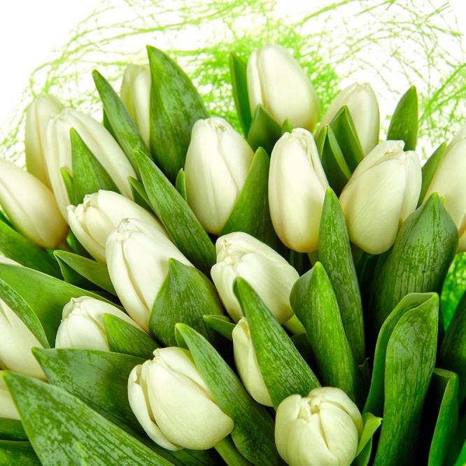 Тюльпаны белые картинки