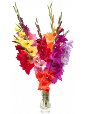 Букет цветов из разноцветного гладиолуса (9 шт.) №53 с доставкой.