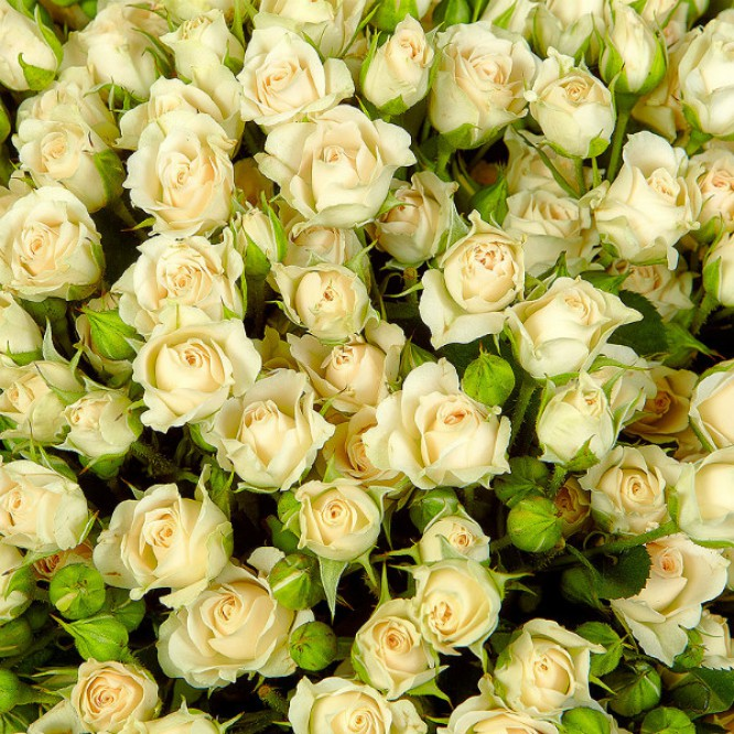 Букет цветов из кремовых кустовых роз №18 (51 шт.) с доставкой.
